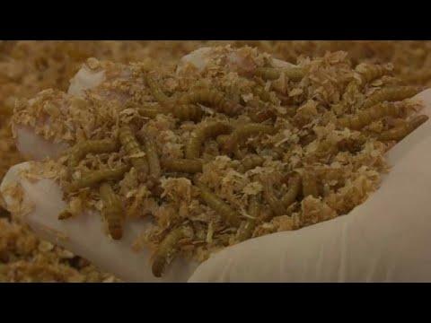 شاهد مزارع الديدان تستعد لتقديم البروتين