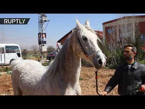 شاهد الخيول العربية الأصيلة تعود إلى المزارع السورية
