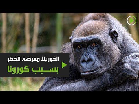 حيوان الغوريلا في أفريقيا عرضة للخطر بسبب فيروس كورونا المستجد