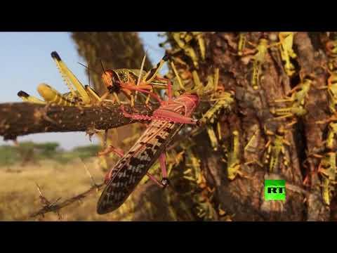 الجراد تغزو كينيا وسط جائحة كورونا العالمية