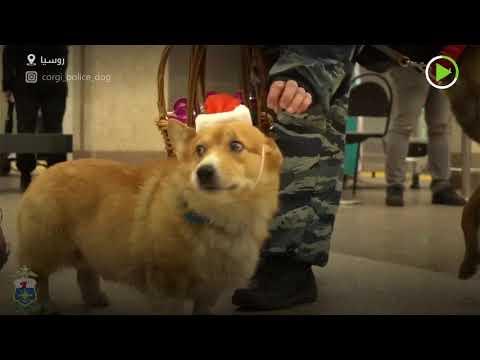كلب كورغي يخدم لدى الشرطة الروسية