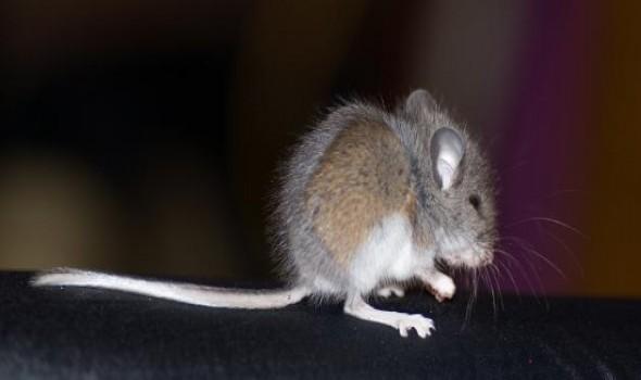 العرب اليوم - تفسير ظهور الفئران في المنام قد يكون مشمئزاً للبعض أو مخيفاً لهم