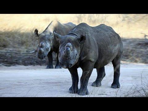 عودة وحيد القرن الأسود إلى تشاد