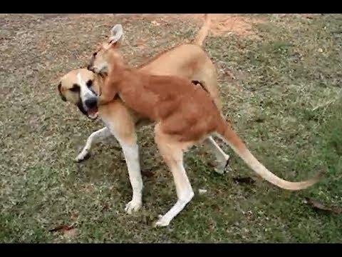 ما يحدث إذا واجه الكلب حيوان الكنغر