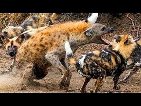 مايحدث عندما تحارب الحيوانات الشرسة بعضها