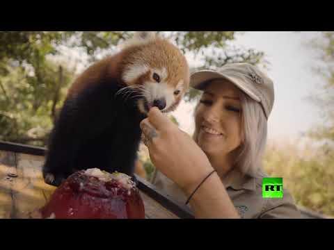 شاهد آيس كريم وبطيخ للحيوانات البرية في رمضاء أستراليا