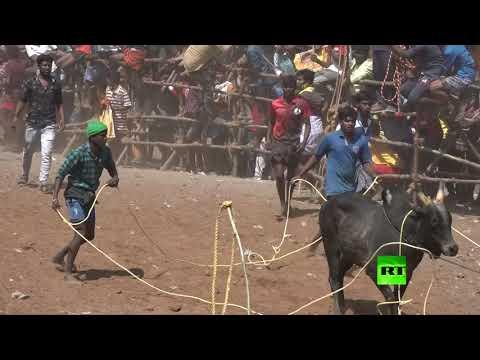 شاهد مهرجان ترويض الثيران في الهند