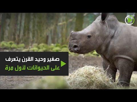شاهد صغير وحيد القرن يتعرف على الحيوانات لأول مرة