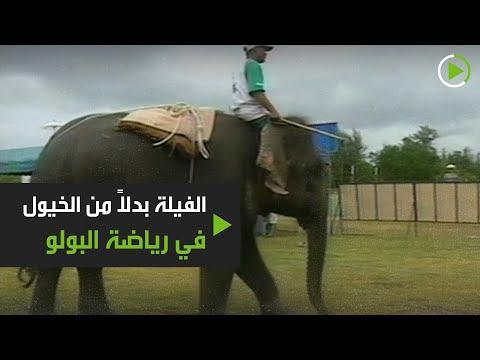 شاهد رياضة البولو على فيلة بدلًا من الخيول