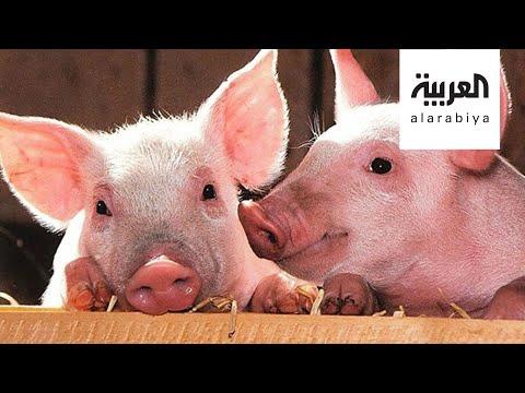 جي 4 نوع جديد من إنفلونزا الخنازير في الصين