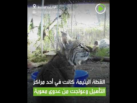 شاهد إطلاق سراح قطة احتفالا باليوم العالمي للحياة البرية